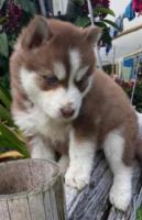Preciosos cachorros  lobos Husky Siberianos