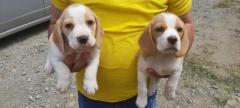 Magníficos cachorro Beagles color limon en disponibilidad