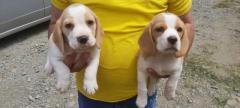 Magníficos cachorro Beagles color limon en disponibilidad