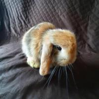 Vendo hermosos conejitos Belier