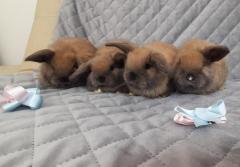Conejos Belier En Bogotá