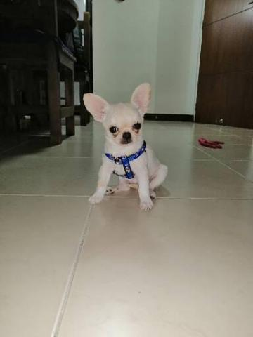 Chihuahua macho - 1/3