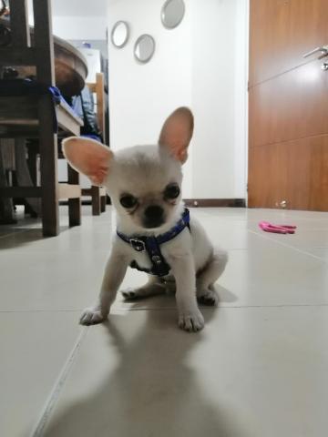 Chihuahua macho - 2/3