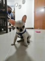 Chihuahua macho - Imagen 2/3