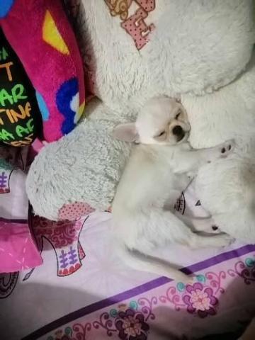Chihuahua macho - 3/3