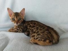 Hermosos Bengali Gatos Garantizados Machos y Hembras