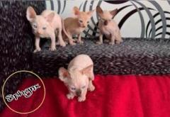Unos Lindos Cachorros Garantizados Gatos Sphynx