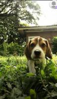 Beagle disponible