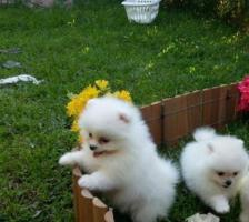 Pomerania Excelentes y Hermosos Miniatura