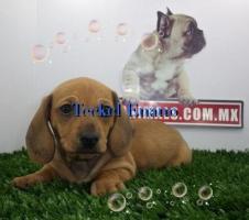 Vendemos Cachorros Teckel Disponibles Enanos