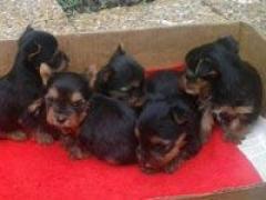 Pequeños En Medellín Cachorros Yorkie Miniatura