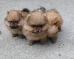Perritos Pequeños Pomerania Mini Medellín