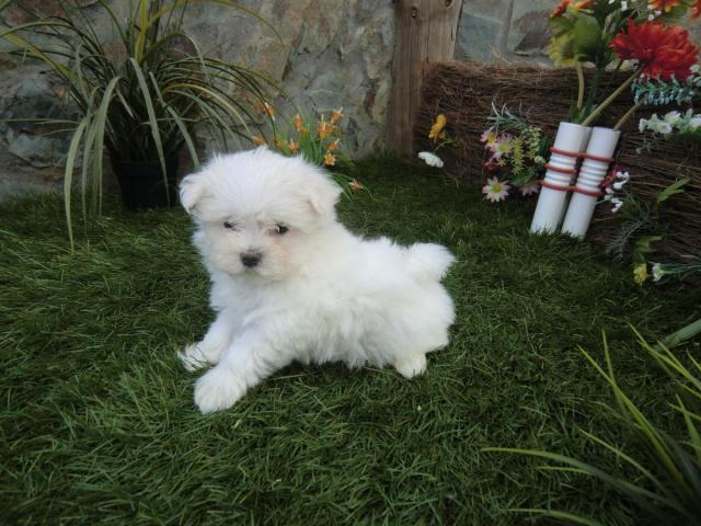 Bichon Maltes Pequeños y Adorables Cachorros - 2/2