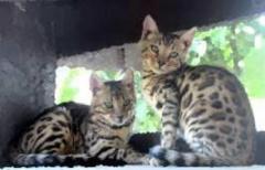 Los Más Lindos Gatos Bengali Garantizados