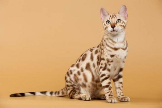 Los Más Lindos Gatos Bengali Garantizados - 2/2