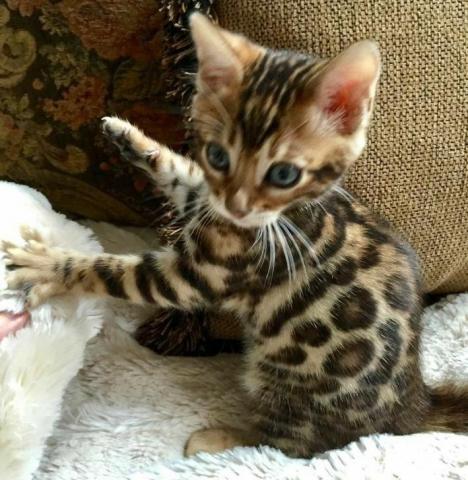 Favorables y Hermosos Gatos Bengali Garantizados - 1/2