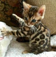 Favorables y Hermosos Gatos Bengali Garantizados