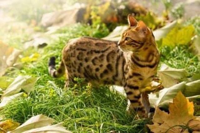 Favorables y Hermosos Gatos Bengali Garantizados - 2/2