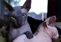 Gatos Hermosos Llegan Sphynx Hembras
