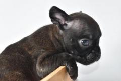Bulldog Frances negro $1,750.000 Criadero El Arca del Frances www.elarcadelfrances.com