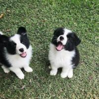 Tiernos cachorros Border Collie