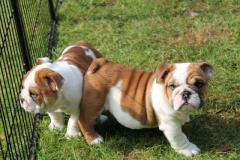 Divinos cachorros Bulldog Ingles disponibles