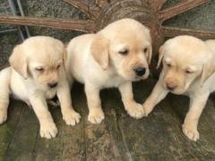 Hermosos cachorros de compañía Labradores