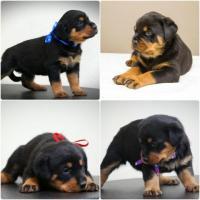 Excelente cachorros de raza pura Rottweiler