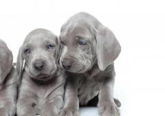 Divinos cachorros Braco Weimaraner