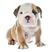 Gordos cachorros Bulldog Ingles disponibles