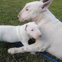Preciosos cachorros Bullterrier