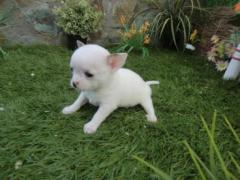 Pequeñines Chihuahua disponibles